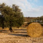 Straw roll next to the green olive trees on the farm field