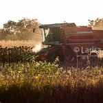 Modern combine harvesting sunflowers at sunset. Romanian farmland.