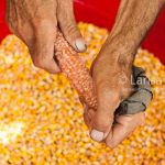 Farmer's hands removing corn grains from cob traditional way closeup with the corn grains as a background. Romania.