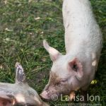 Two small pigs on a green grass closeup. Free Range pigs. Romania.