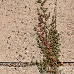 Wild green and red grass making its way between tiles of asphalt.